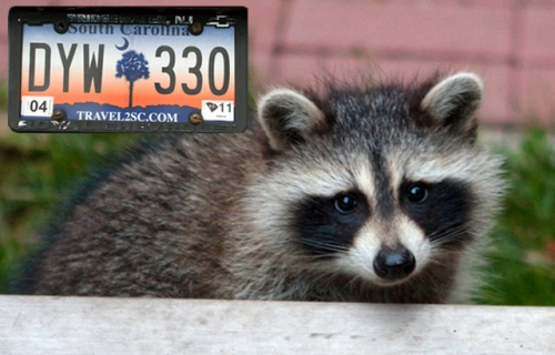 In south carolina coon hunting is real colorlines for Sc non resident fishing license