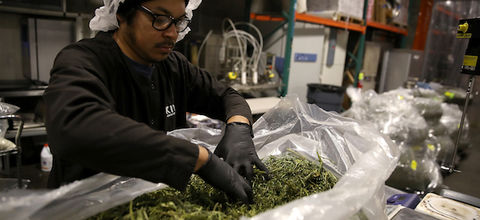 Brown man with black hat and shirt and gloves and white hair net sifts through green marijuana plants in clear plastic bag in front of grey walls and green and orange scaffolding and grey and white and yellow and black machinery
