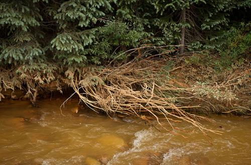 Roots of a tree that were washed with pollutants sit along Cement Creek on August 11, 2015, in Silverton, Colorado. Cement Creek was accidentally flooded with millions of gallons of mining wastewater by the EPA last year, polluting the larger Animas River