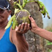 An elderly woman in a turquoise tank top and navy blue cap holds up a breadfruit