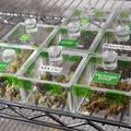 Clear glass containers holding green marijuana flowers on grey metal shelf in front of white wall