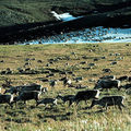 Caribou graze in the Arctic National Wildlife Refuge in Alaska in this undated file photo.