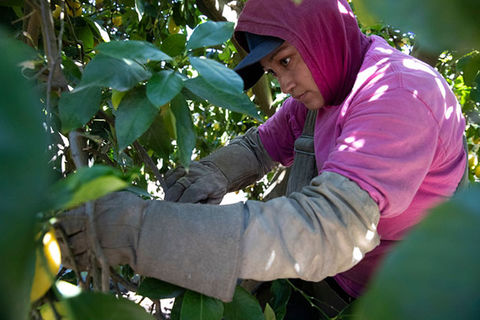 Farmer. Latinx woman wearing pink Tee shirt, long sleeve gray shirt and red covering over blue hat.