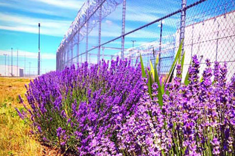 Lavender.  Lavender growing around the barbed wires of the Washington State Penitentiary.