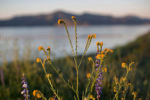 Rancher's fiddlenecks bloom after prolonged record drought gave way to heavy winter rains, causing one of the biggest wildflower blooms in years on March 16, 2017, at Diamond Valley Lake, near Hemet, California.